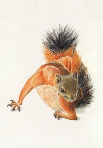 Dorothy Lathrop Postcard - Squirrel